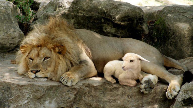 A Lion or A Lamb